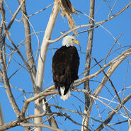 Adult-bald-eagle