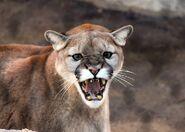 Cougar-1331581 960 720