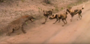 Sabi Sand Wild Safari Live Feb 29 2016 sunrise - Spotted hyena vs wild dogs