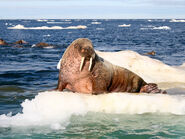 Atlantic-walrus-feature-2