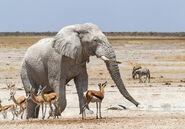 African-Elephant-Springboks-Africa