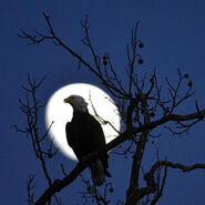 Fw-eagle in moonlight