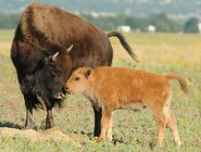 Rocky mtn aresenal nwr rich keen dpra bison and calf