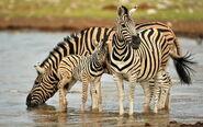 Zebra-family-desktop-background