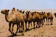 Bactrian Camel3
