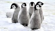 Emperor-penguin-chicks.jpg.adapt.945.1
