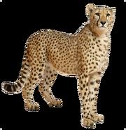 Cheetah PNG14848
