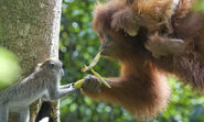 Sumatran Orangutan 8.6.2012 Why They Matter2 XL 287352