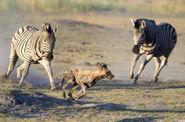 Zebras-chase-off-wild-dog-savuti-camp-590x390