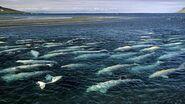 Beluga-whale-pod-swimming.jpg.adapt.945.1