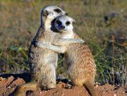 Meerkats3d-02 51265 600x450