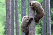 Grizzly-bears-climbing-tree