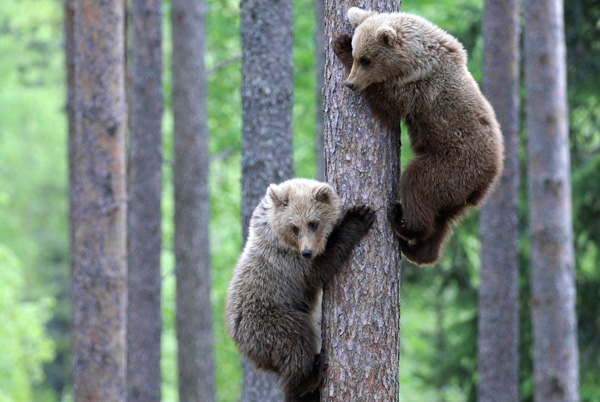 image grizzly bears climbing tree jpg creatures of the world