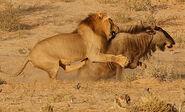 Lion-wildebeest