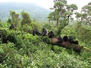 Mountain-Gorilla-Habitat