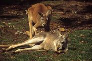 Copy-of-australia-red-kangaroo-male-and-female