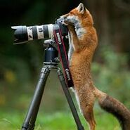 Fox-images