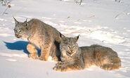 Canada-Lynx-Photos