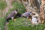 BIRDS 022 PEREGRINE FALCON FAMILYthumbcopy