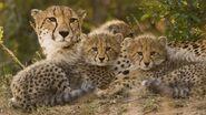 Cheetah-mom-cubs.jpg.adapt.945.1