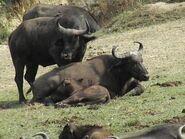 Cape-buffalo-family-kazinga
