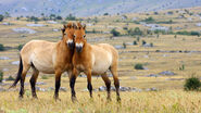Przewalskis-horse-two