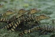 American-alligator-alligator-roy-toft
