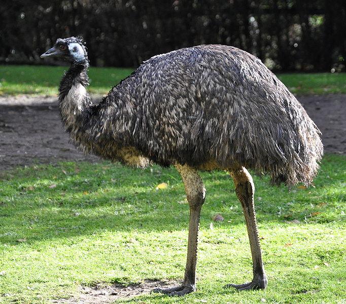 4e140ce1cb Emu   Creatures of the World Wikia   FANDOM powered by Wikia