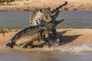 Jaguar-attacks-a-Yacare-Caiman