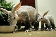 Two Aardvarks