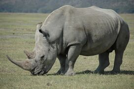 White Rhinoceros5