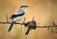 Loggerhead-Shrike-Prey