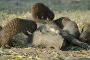 Mongoose-grooming-warthog-1