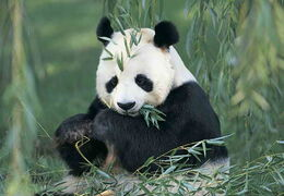 Cute-giant-panda-eating-bamboo-leaves1
