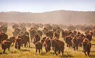 Bison-herd orig