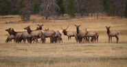 Featured-colo-elk