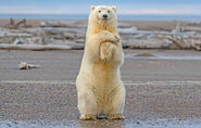 Polar-bear-dance-Alaska-photos-956375