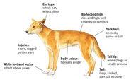 Dingo-illustration