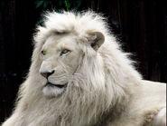 White-Lion-Wallpaper-Free