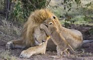 £££ Heartwarming pictures have emerged of the moment a lion cub meets his dad for the first time