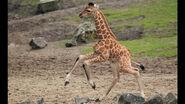 Giraffe-baby.ngsversion.1411232159925