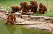 Image 4063e-Orangutans