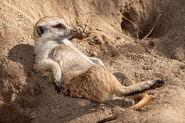 Meerkat lounging 0
