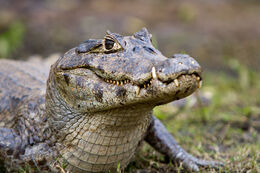 Caiman-from-eye-level
