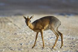 Madoqua kirkii - female (Namutoni)