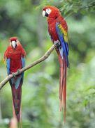Pair-of-scarlet-macaws
