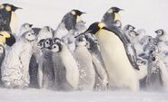 Emperor-penguins-chicks-in-blizard-820x503