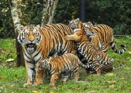 Tiger-dad-meet7-gty-ml-171026 7x5 992