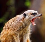 Meerkat 19