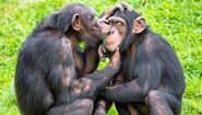 Chimps-grooming.jpg.653x0 q80 crop-smart